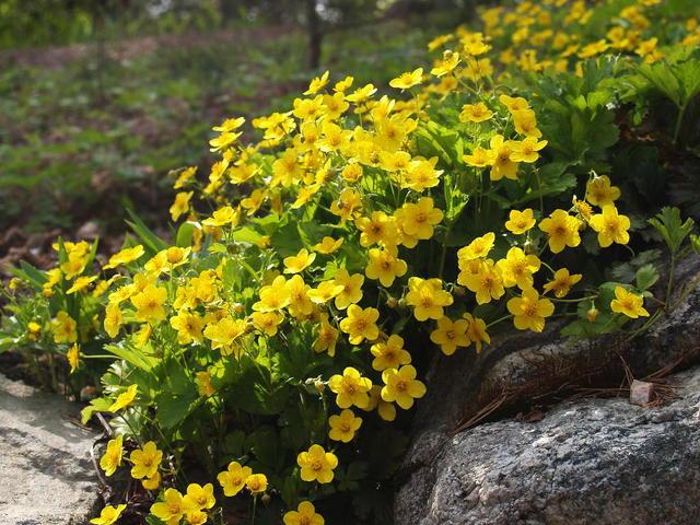 Вальдштейния тройчатая почвопокровная сорт Waldsteinia ternata Susanna фото