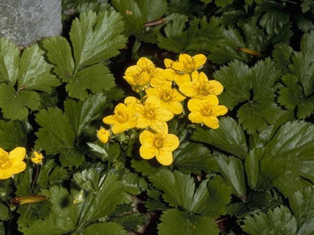 Вальдштейния земляниковидная Waldsteinia fragarioides фото