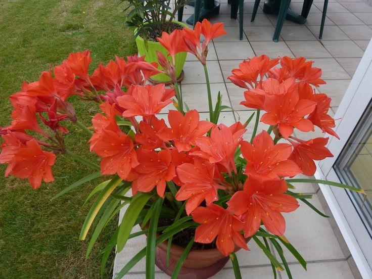 Валлота прекрасная комнатные растения фото цветов
