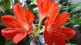 Валлота уход в домашних условиях фото цветов