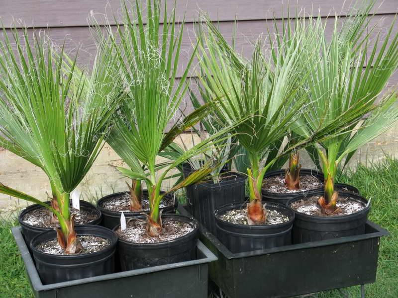 Вашингтония нитеносная или нитчатая Washingtonia filifera фото