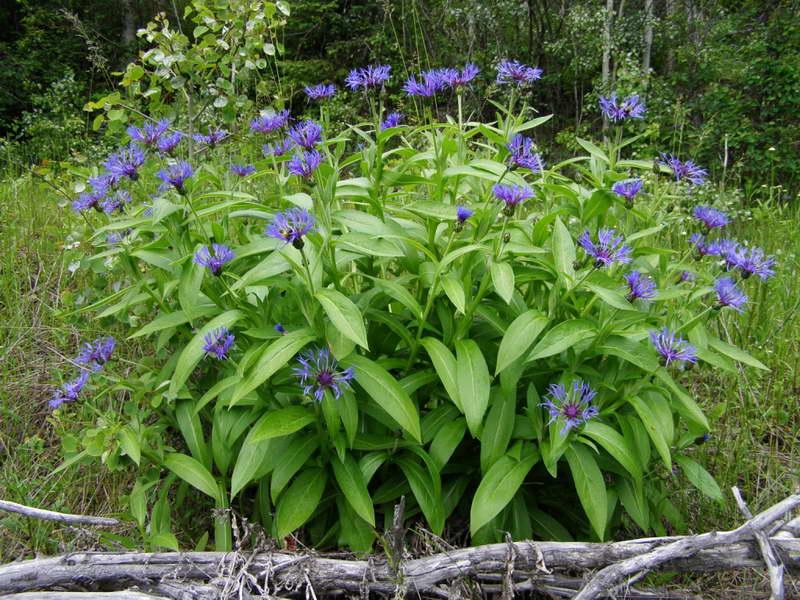 Василек горный Centaurea montana фото