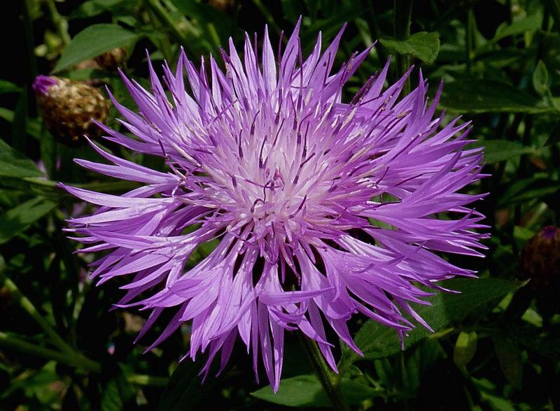 Василек подбелнный Centaurea dealbata 'Steenbergii' фото
