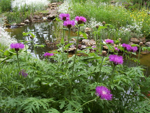 Василек садовый многолетний посадка и уход фото