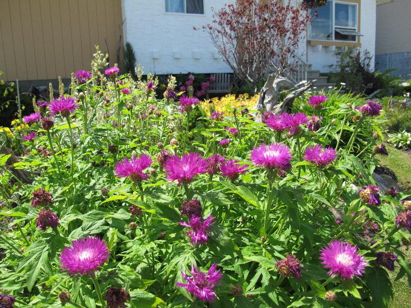 Василек садовый однолетний посадка и уход фото