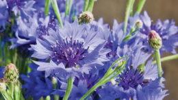 Василек садовый сорт 'Blue Diadem' фото цветов