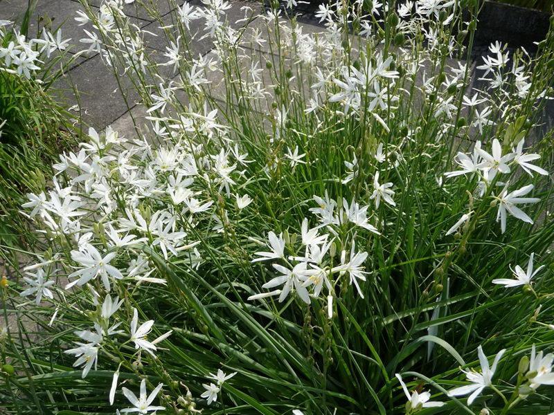 Венечник простой лилейный травянистые растения для открытого грунта