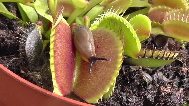 Венерина мухоловка уход в домашних условиях фото