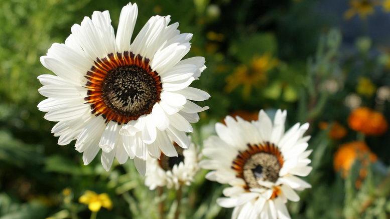 Венидиум пышный белый выращивание из семян фото