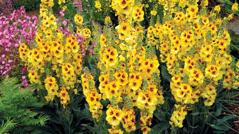 Вербаскум гибридный Verbascum x hybridum 'Gold Nugget' фото