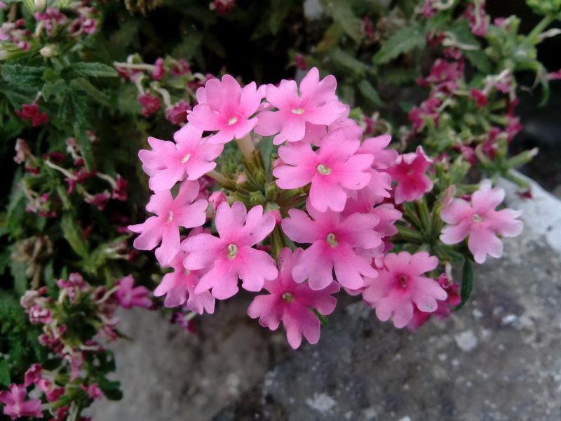 Вербена фото цветов рассада когда сажать семенами