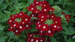 Вербена фото цветов рассада сорт Aztec Red Velvet Verbena