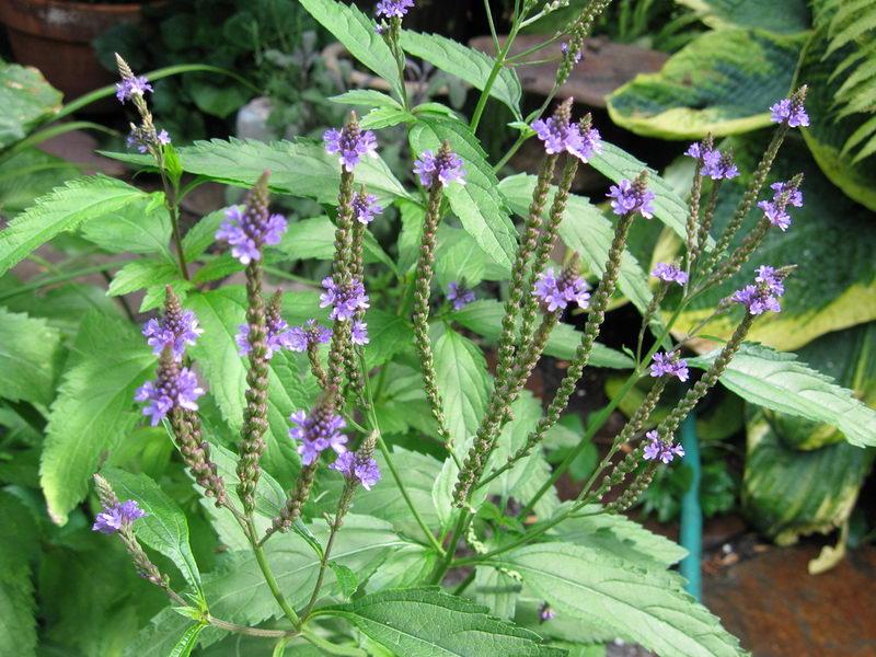 Вербена лекарственная Verbena officinalis выращивание и уход фото
