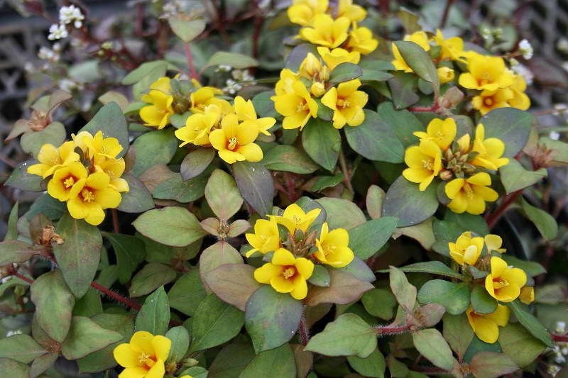 Вербейник Лисси Lysimachia congestiflora Lissy фото