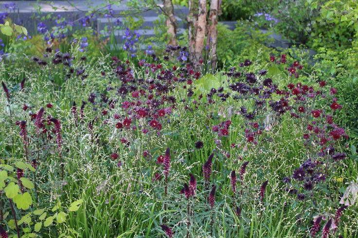 Вербейник пурпурный в ландшафтном дизайне в сочетании с аквилегией Lysimachia atropurpurea 'Beaujolais' и Aquilegia vulgairs var. stellata 'Black Barlow' фото