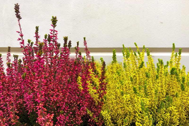 Вереск Эрика желтый и красный calluna vulgaris ericaceae фото