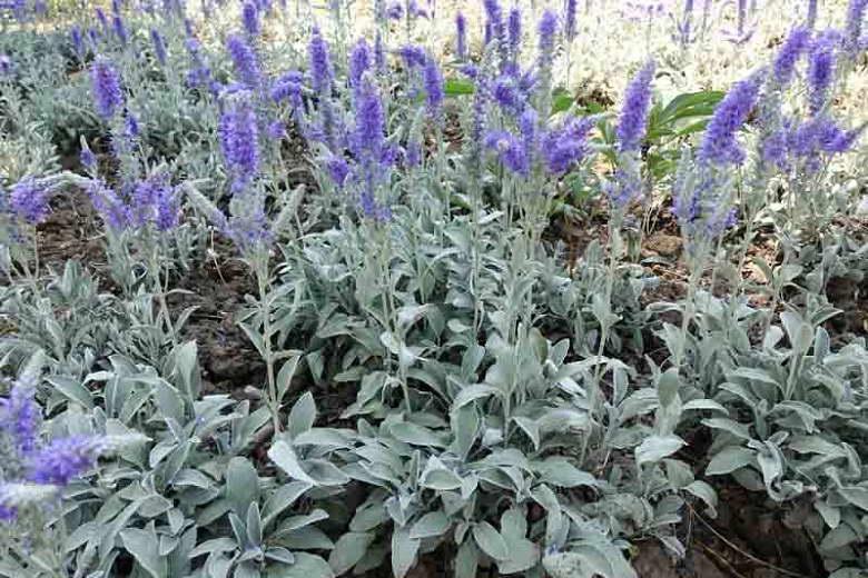 Veronica spicata subsp. incana 'Pure Silver'