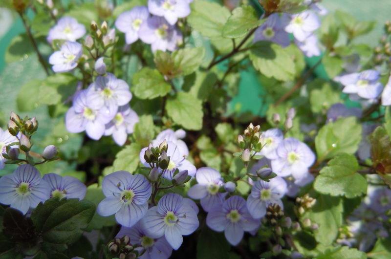 Вероника деревянистая сорт Veronica surculosa 'Waterperry Blue' фото