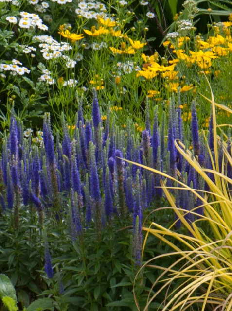 Вероника колосковая с травами и цветами фото