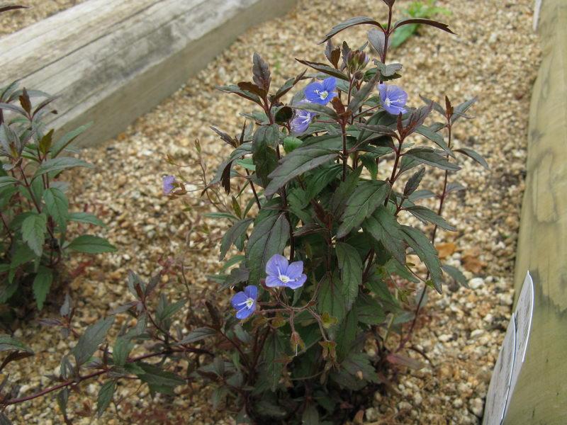 Вероника цветоножковая сорт Veronica peduncularis 'Georgia Blue' фото