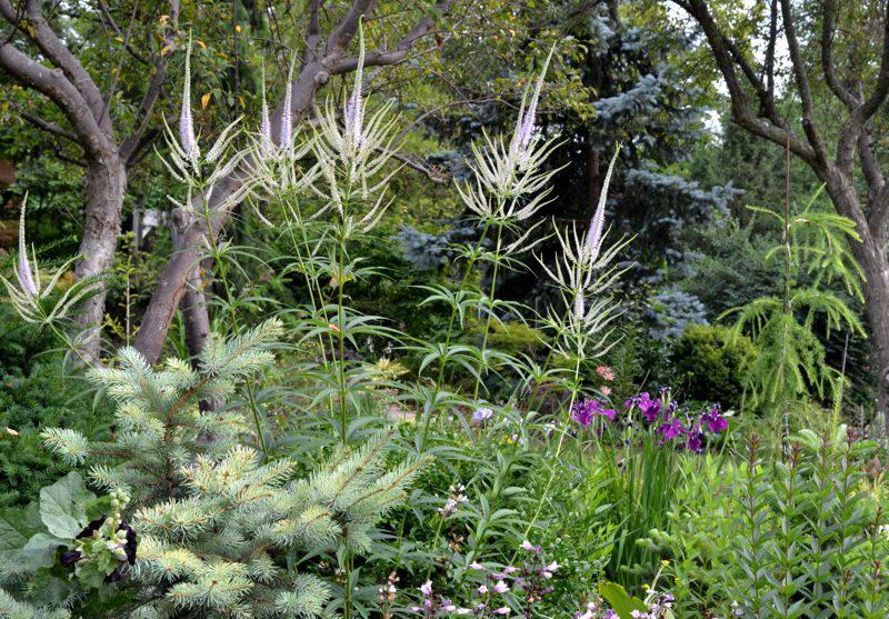 Вероникаструм в саду фото Veronicastrum virginicum Lavender Towers