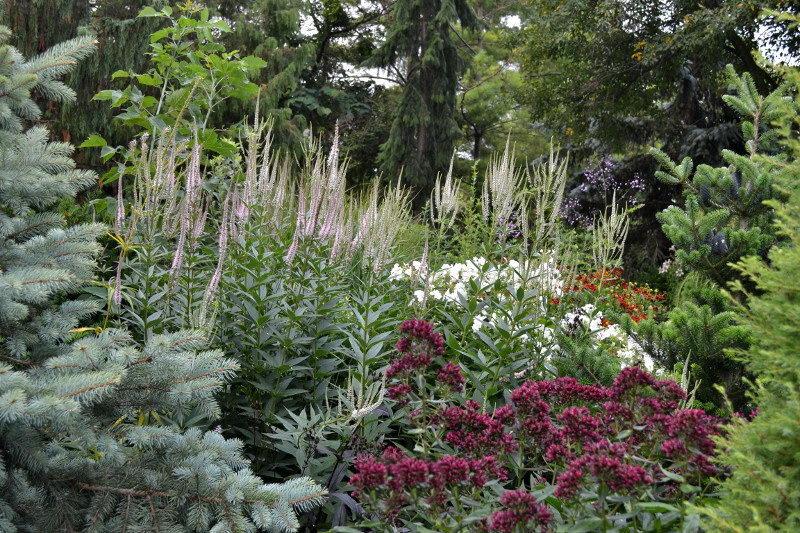 Вероникаструм в саду цветение в августе фото композиции