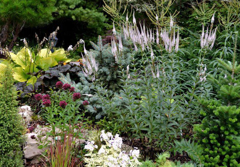 Вероникаструм виргинский Veronicastrum virginicum Rosea фото композиции в саду