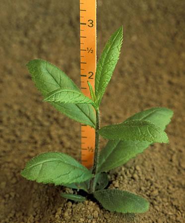 Вероникаструм виргинский fascination выращивание из семян на рассаду