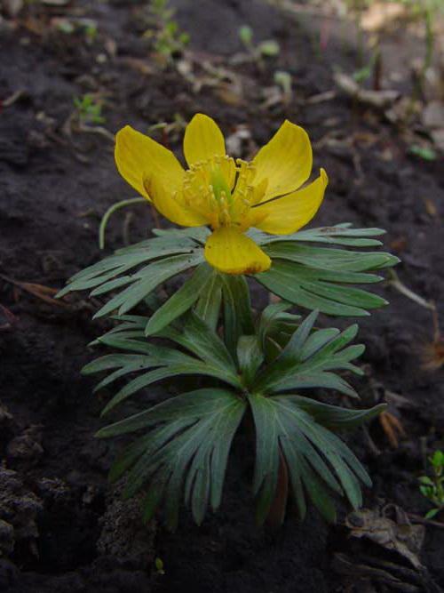 Весенник длинноножковый Eranthis longistipitata Regel