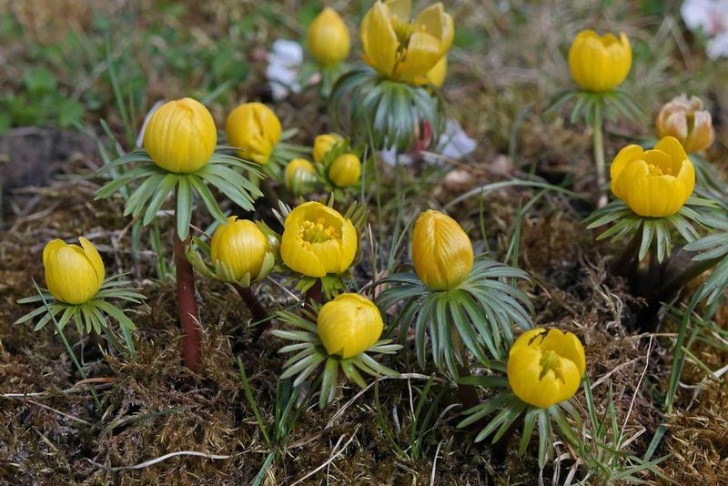 Весенник киликийский Eranthis cilicica фото