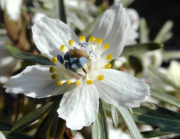 Весенник перистонадрезанный Eranthis pinnatifida фото