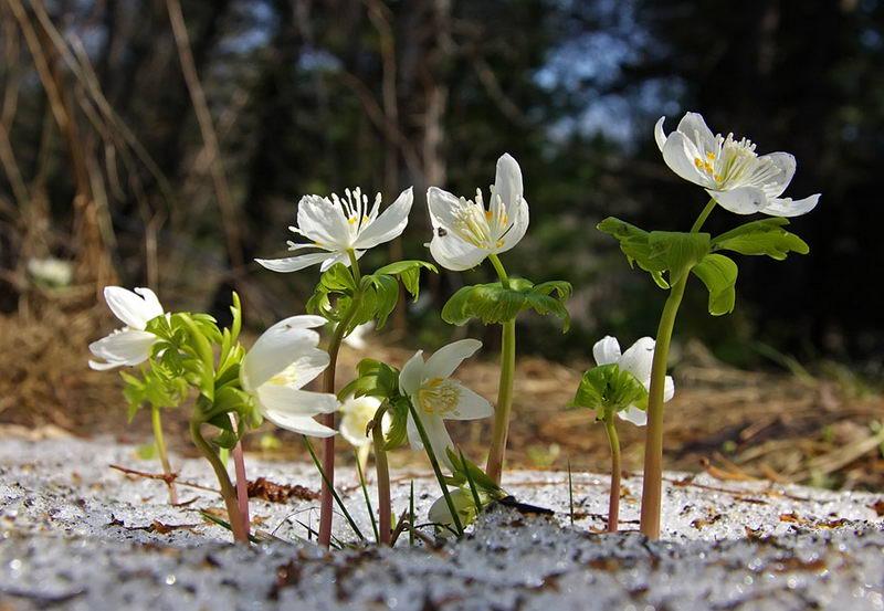 Весенник сибирский Eranthis sibirica фото