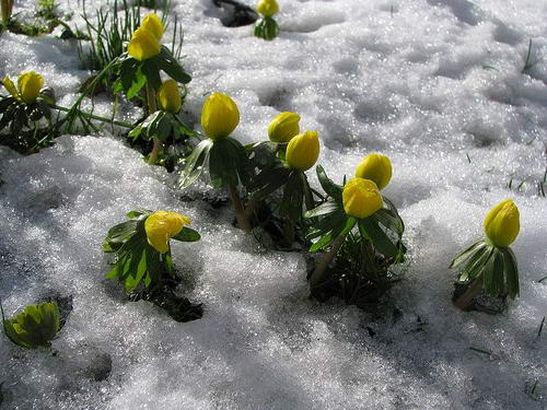 Весенник зимний или зимующий Eranthis hyemalis фото в снегу