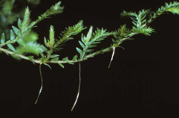Веточка селагинеллы с воздушными корнями фото