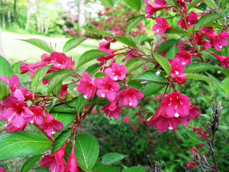 Вейгела обильноцветущая Weigela floribunda фото