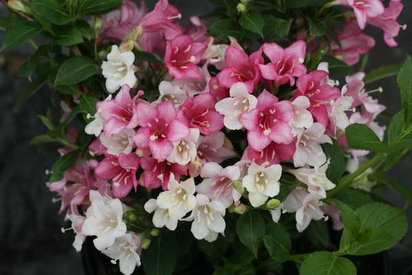 Вейгела цветущая декоративные деревья и кустарники фото цветения