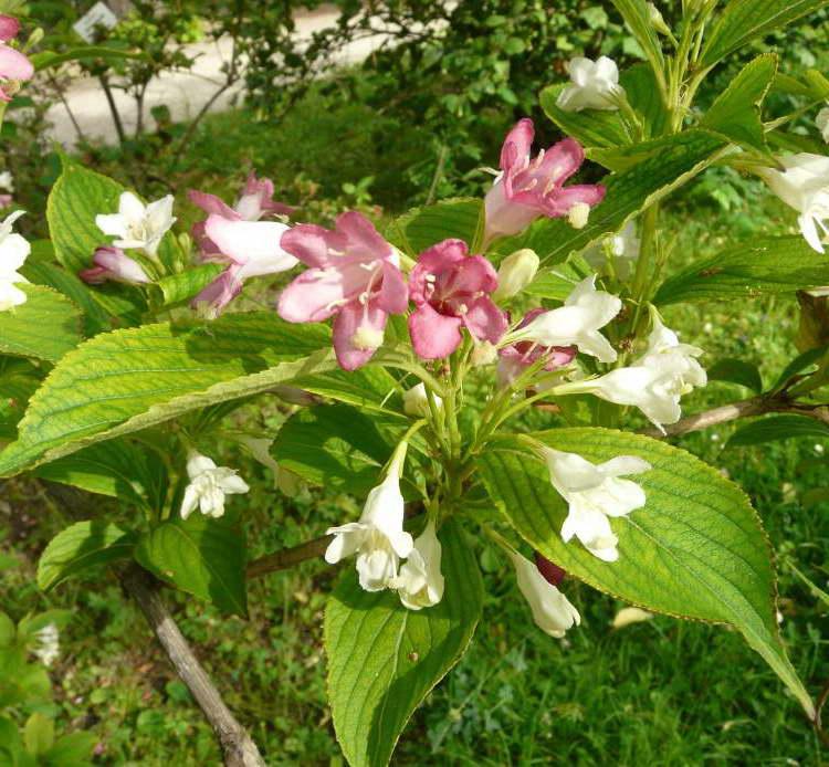 Вейгела японская Weigela japonica фото