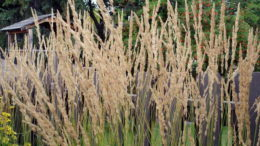 Вейник остроцветковый Карл Фостер Calamagrostis x acutiflora 'Karl Foerster' посадка и уход фото