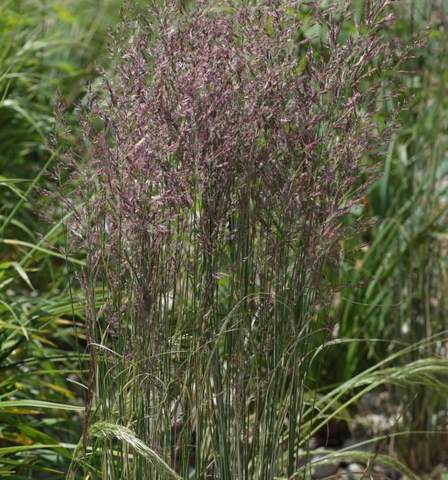 Вейник остроцветковый Овердам Calamagrostis x acutiflora 'Overdam' фото