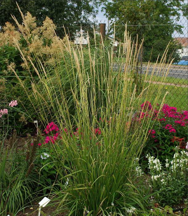 Вейник остроцветковый в дизайне сада фото