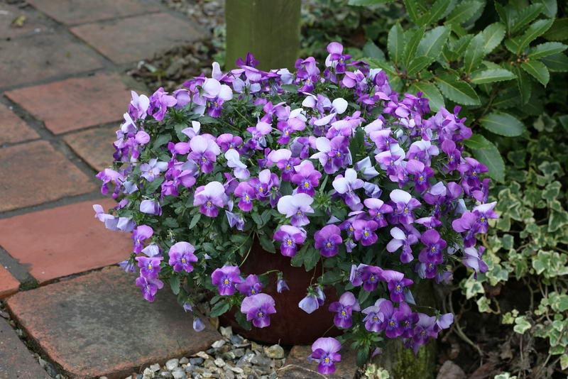 Виола ампельная сорт Pansy Freefall Lavender фото цветов в вазоне