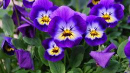 Виола выращивание из семян Когда высаживать
