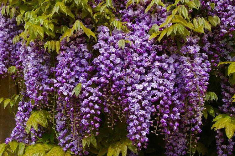 Вистерия флорибунда Блэк драгон Wisteria floribunda Black Dragon фото
