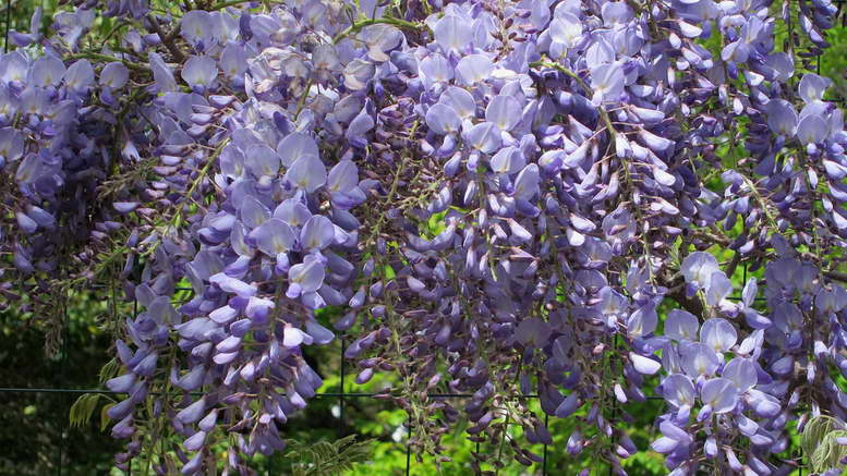 Вистерия китайская Wisteria sinensis 'Blue Sapphire' фото цветения
