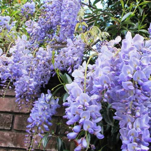 Вистерия китайская Wisteria sinensis 'Blue Sapphire' фото