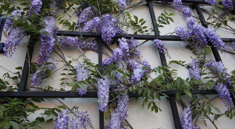 Вистерия китайская Wisteria sinensis 'Prolific' фото