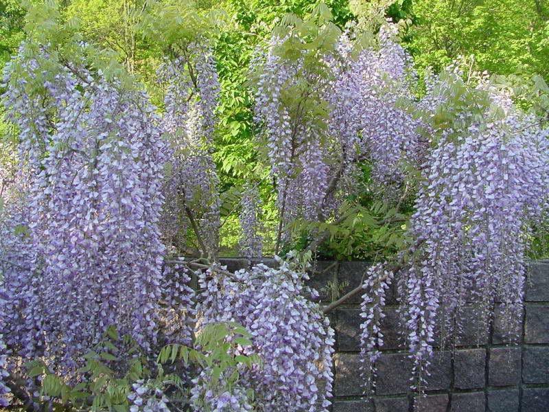 Вистерия японская Wisteria floribunda Macrobotrys фото