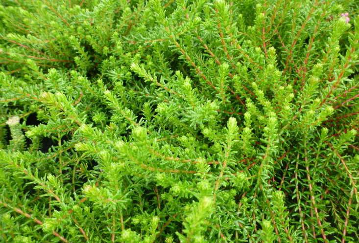 Водяника черная Смарагд Empetrum nigrum 'Smaragd' фото