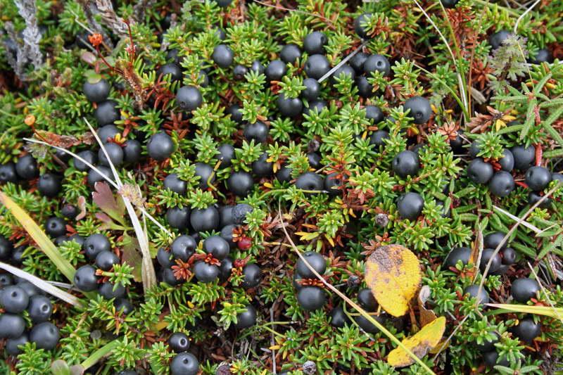 Водяника черная шикша сорт Лусия Empetrum nigrum 'Lucia' фото