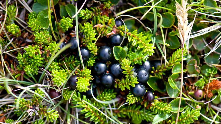 Водяника черная выращивание и уход в открытом грунте фото